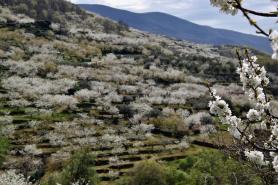 Cerezos en Flor (Valle del Jerte)