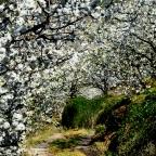 Fiesta del Cerezo en Flor (Valle del Jerte). Segunda quincena de Marzo aproximadamente. Fiesta de Interés Turístico Nacional.