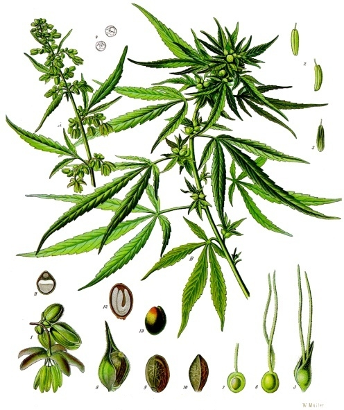Cannabis_sativa_-_Köhler–s_Medizinal-Pflanzen-026